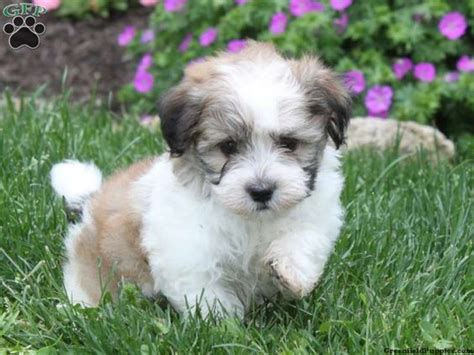 havanese pennsylvania havanese puppy for sale from quarryville pa greenfield puppies fyi