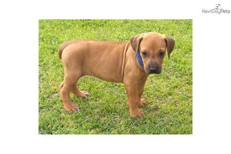 rhodesian ridgeback puppies price rhodesian ridgeback puppy for sale near east tx ac57c05f c311