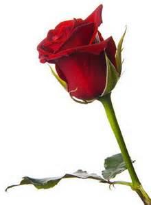 imagenes de rosas q brillan untitled imagenes de rosas que se mueven y brillan