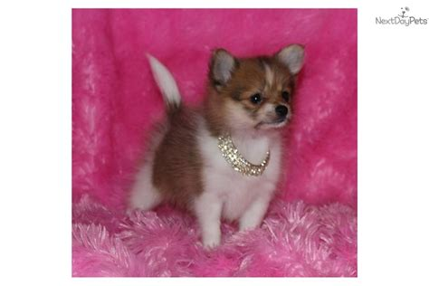 brown teacup pomeranian puppies for sale teacup brown nose 17oz 10wks pomeranian puppy for sale near texoma