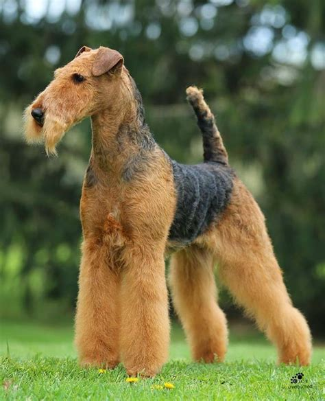 winter airedale haircut best 25 airedale terrier ideas on pinterest welsh
