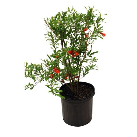 russian pomegranate tree pomass05g the home depot