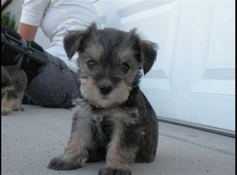 yorkie puppies for sale utah schnorkie puppies for sale in clarkston utah ksl classifieds