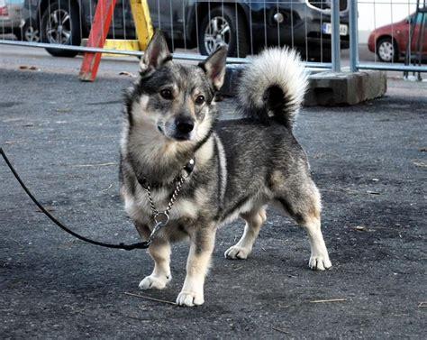 wolf corgi puppy swedish vallhund looks like 1 2 corgi 1 2 husky 1 2