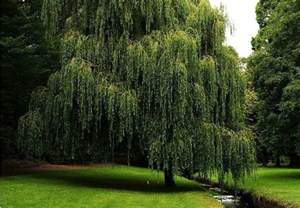 6 fast growing shade trees