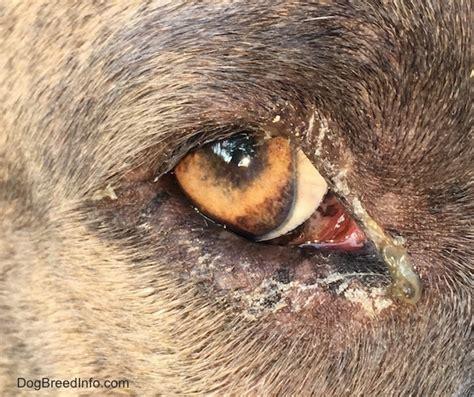 puss in s eye fiberglass poisoning in dogs