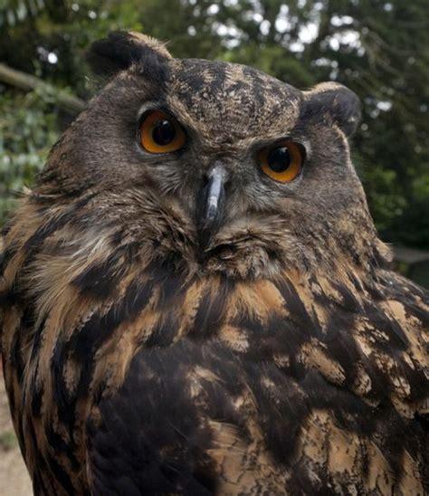 tattoo eagle owl european eagle owl tattoo art inspiration pinterest