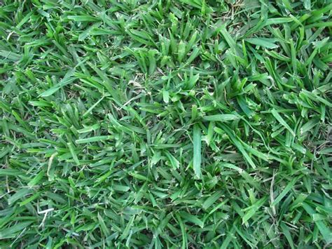 south african couch grass lawn kikuyu grass factory eco organics