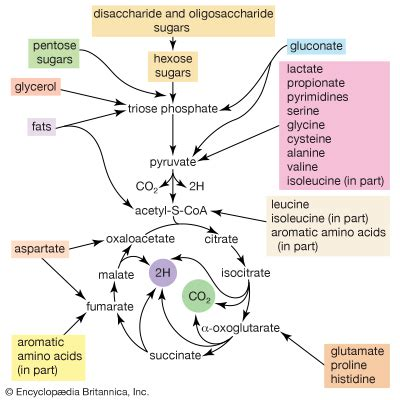 carbohydrates oligosaccharides oligosaccharide biochemistry britannica