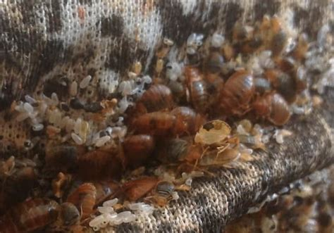 can you see bed bugs on your skin what does a bed bug look like