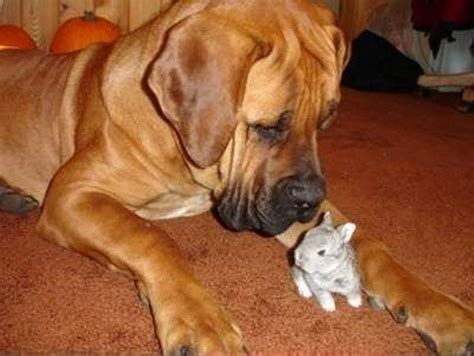 boerboel dogs 93 best images about boerboel on pedicure designs mastiff breeds and the
