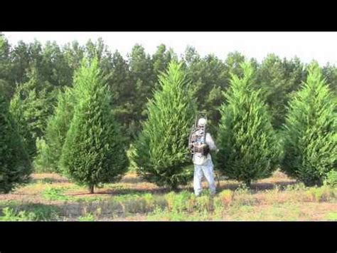pruning christmas trees with a saje youtube