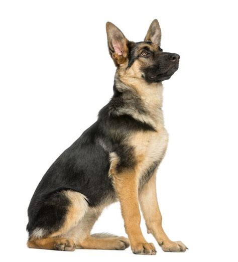 Coats & Colors of German Shepherds | Dog Care - Daily Puppy