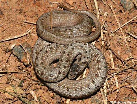 brown pattern snake brown snake storeria dekayi