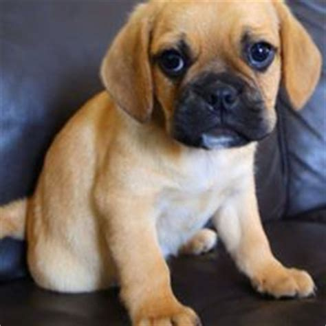 teacup pugs for sale in utah adorable adorable puggle puppies for sale sydney pug x beagle take a look at