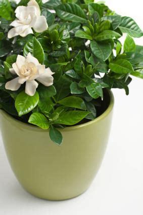 gardenia indoor or outdoor plant gardenia plant care lovetoknow