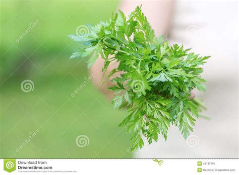 Organic Parsley holding a organic parsley stock photo