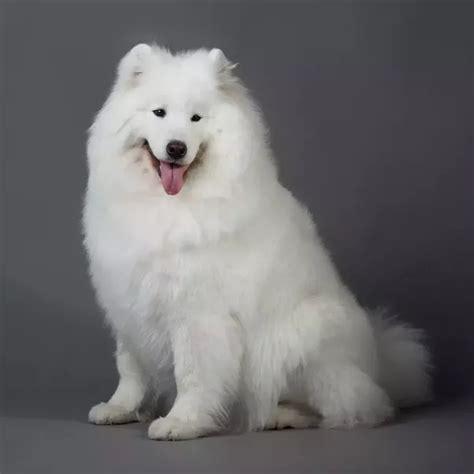 Samoyed Shedding by 3 Answers Do Samoyed Dogs Shed A Lot