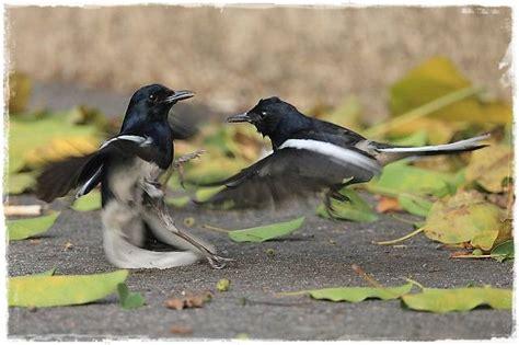 Rontoc Vit Perontok Bulu Burung jenis jenis vitamin untuk burung berkicau
