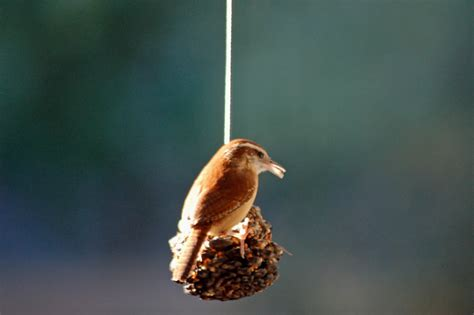 carolina wren on the pinecone feeder coyote mercury