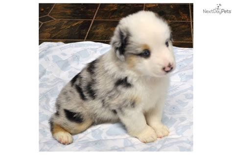 blue merle miniature australian shepherd puppies for sale blue merle australian shepherd puppies for sale in ohio