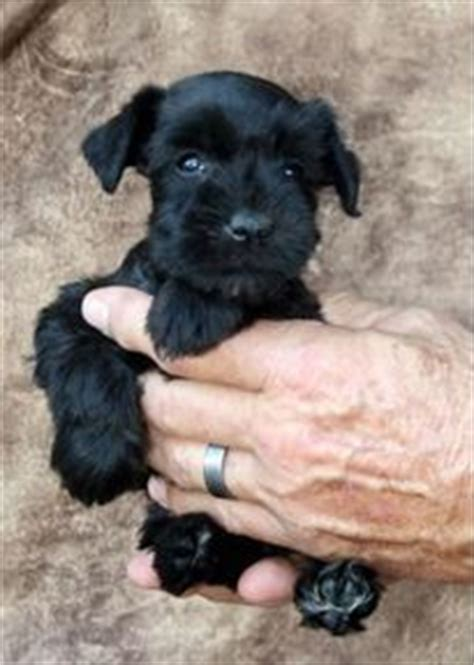 schnauzer puppies for sale in tn puppies for sale miniature schnauzer miniature schnauzers f category in cross