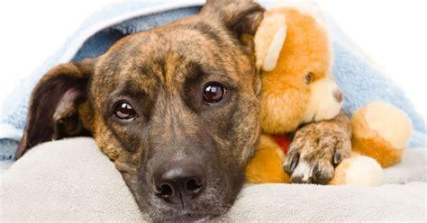 pyometra in dogs pyometra in dogs signs of pyometra dogs treatment of pyometra