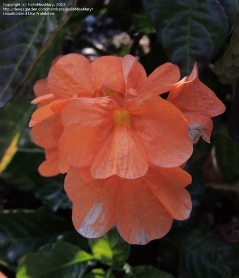 medium sized flowering shrubs plant identification medium sized plant with orange