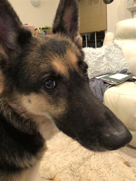 puppies el paso el paso pets craigslist 2019 2020 car release and reviews