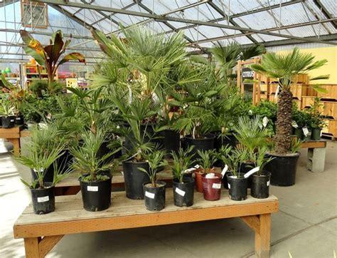 tipi palme da giardino pianta di palma piante da giardino le tante variet 224 di