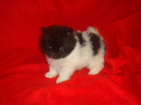 pomeranian puppies for sale in md forsale