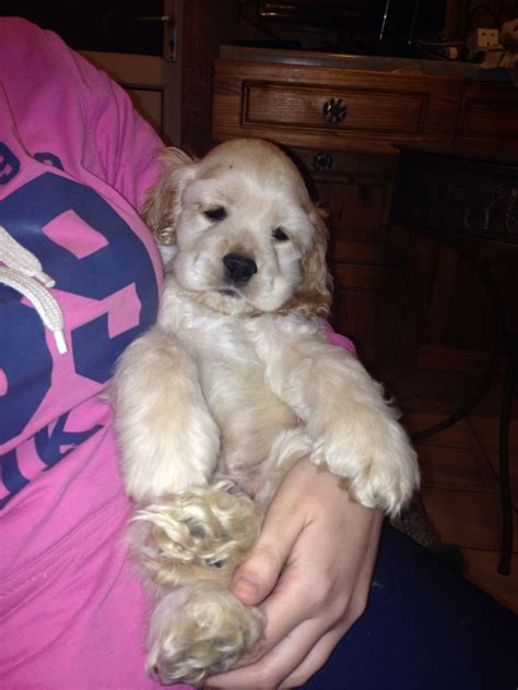 american cocker spaniel puppies for sale stunning american cocker spaniel pups for sale hyde greater manchester pets4homes