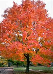 25 ideas acer rubrum trees