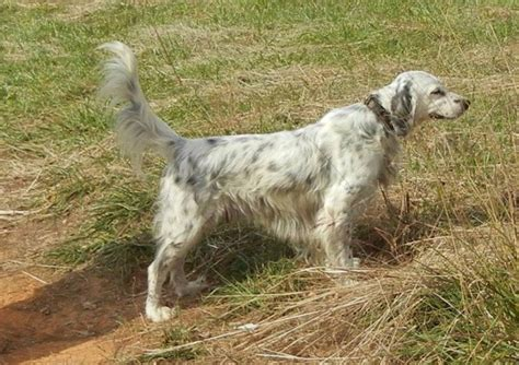 llewellin setter dog breeders mountain view llewellin setter kennel llc hunting dog