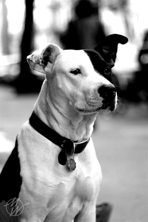 black and white pitbull puppy items similar to photos pitbull black and white pets child s room decor