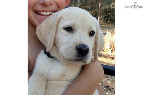 labrador puppies for sale bay area redmond labrador retriever puppy for sale near san francisco bay area california