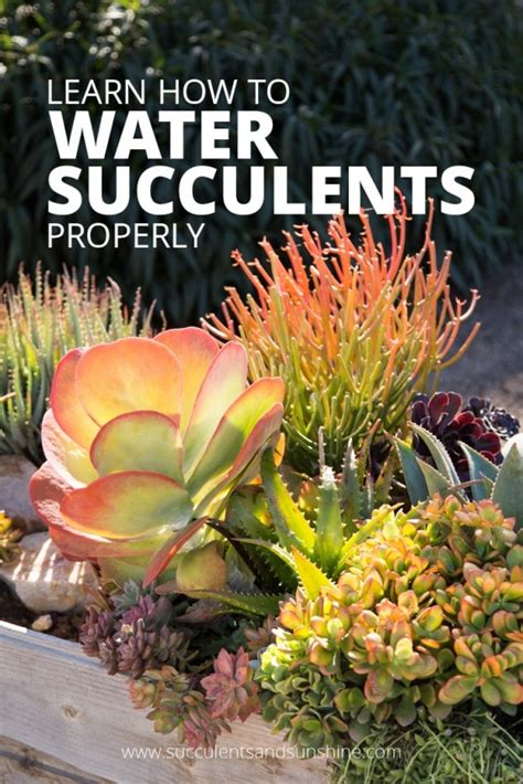 how to water succulent plants wowojiajia