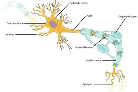diagram of neurone neurons and glial cells boundless biology