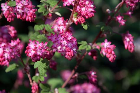 early flowering shrubs early flowering shrubs cox garden designs