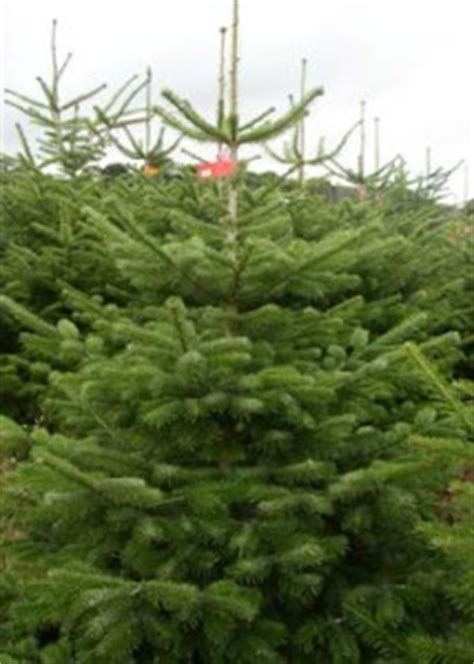 real christmas trees alton landscapes basildon