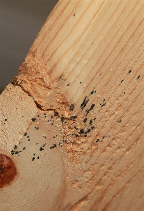 bed bug poop on wood