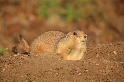 pictures of prairie dogs rodents prairie squirrels chipmunks marmot rabbit photos