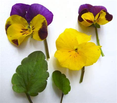 fiore viola pensiero viola mammola viola odorata exploratori della