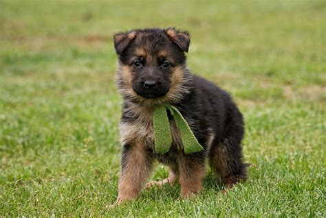 german shepherd puppy german shepherd puppies doglers