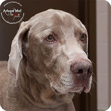 weimaraner puppies ohio troy oh weimaraner meet magnum a for adoption