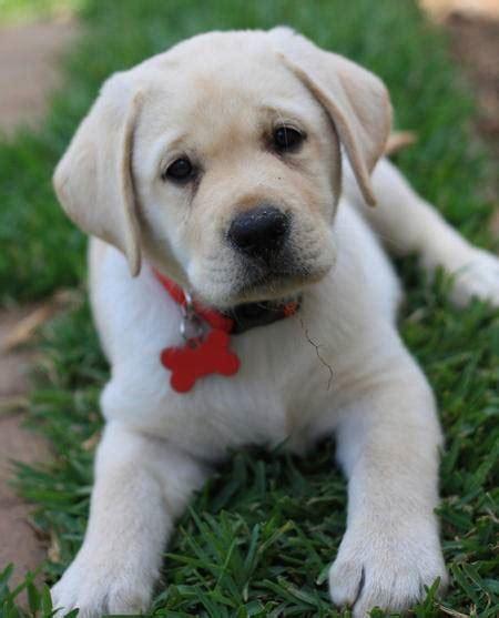 labrador appartamento carattere labrador cani taglia grande guida al