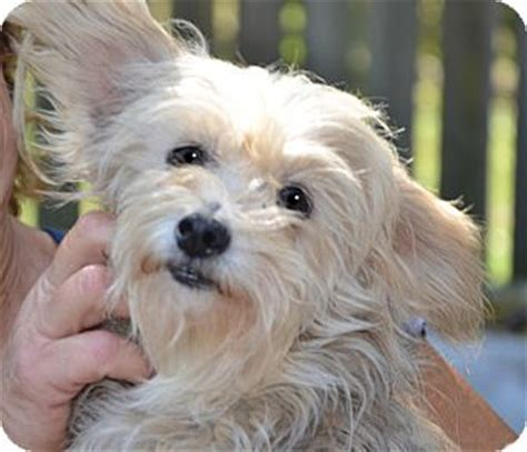 fox terrier yorkie mix adopted londonderry nh yorkie terrier wirehaired fox