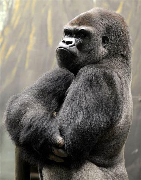 gorilla stand ya kwanza a silverback gorilla stands in the quot gorilla s