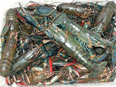 Lobster Air Tawar Frozen juvenile walkamins claw crawfish products united