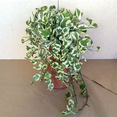 pothos njoy house plants indoor plants indore plants